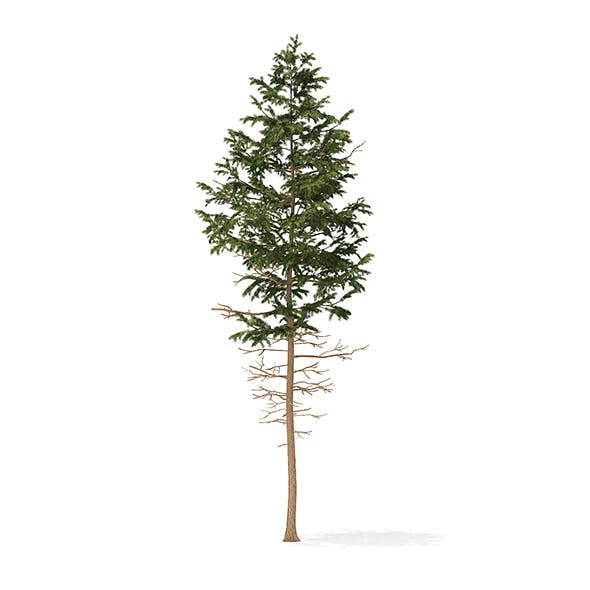 Pine Tree 3D Model 7.7m - 3DOcean Item for Sale