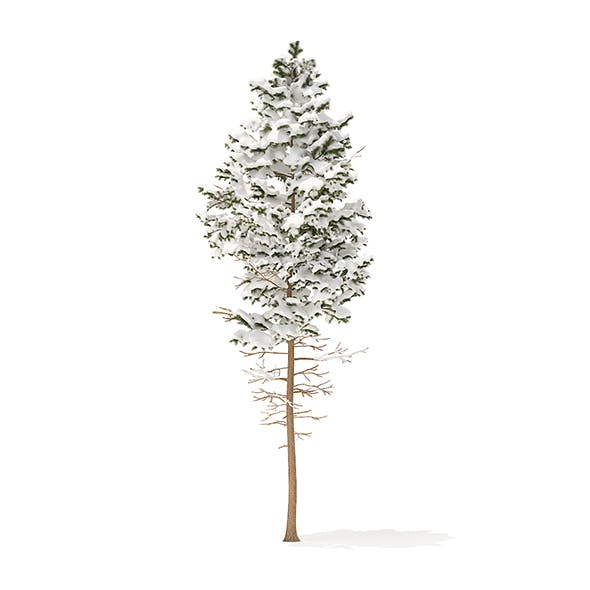 Pine Tree with Snow 3D Model 7.7m
