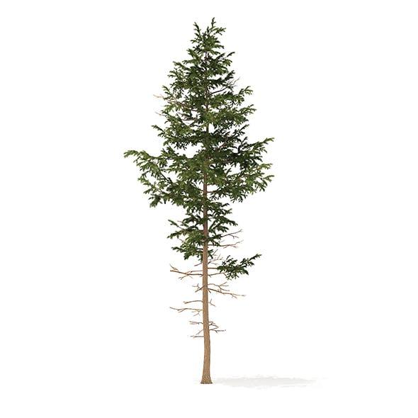 Pine Tree 3D Model 10.2m - 3DOcean Item for Sale