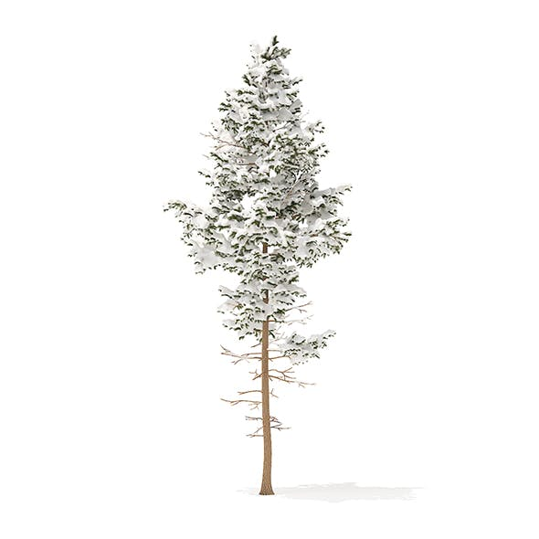 Pine Tree with Snow 3D Model 10.2m