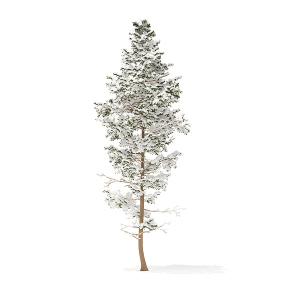 Pine Tree with Snow 3D Model 14m