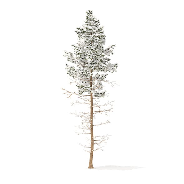 Pine Tree with Snow 3D Model 16m - 3DOcean Item for Sale