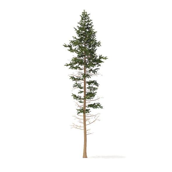 Pine Tree 3D Model 25m - 3DOcean Item for Sale