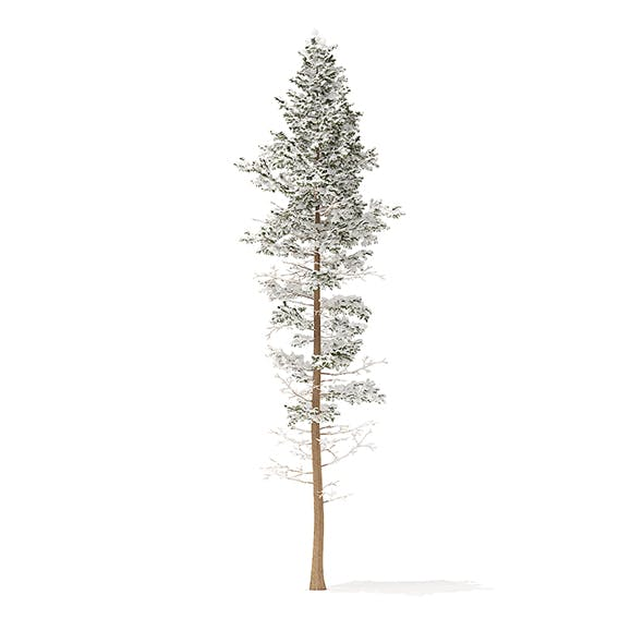 Pine Tree with Snow 3D Model 25m