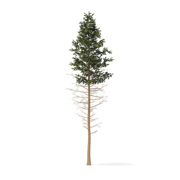 Pine Tree 3D Model 28.5m - 3DOcean Item for Sale