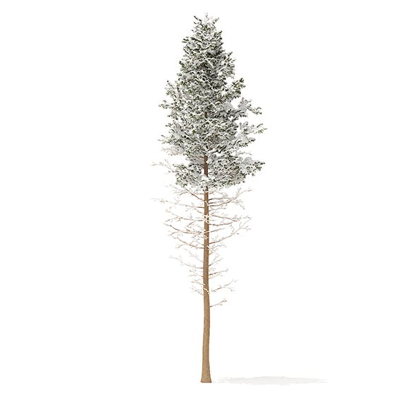 Pine Tree with Snow 3D Model 28.5m
