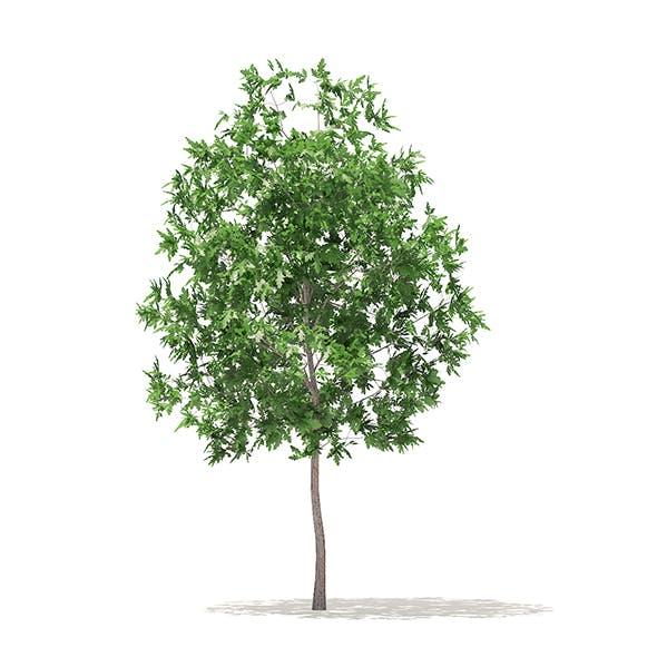 White Oak 3D Model 3.7m - 3DOcean Item for Sale