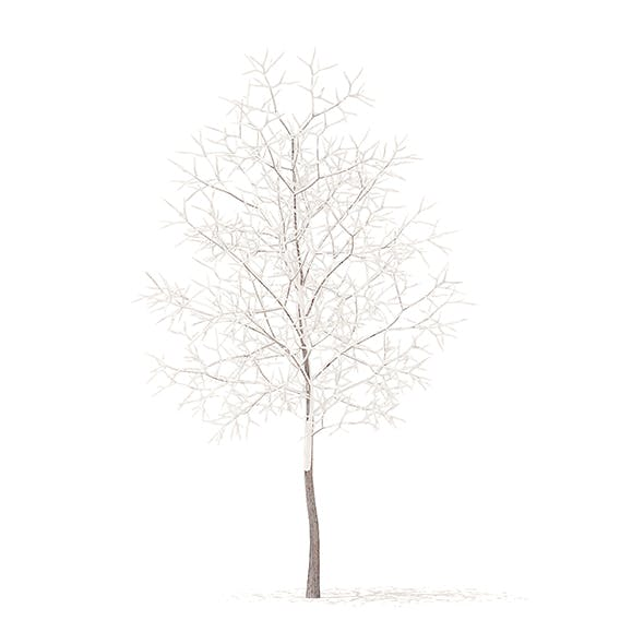 White Oak with Snow 3D Model 3.7m