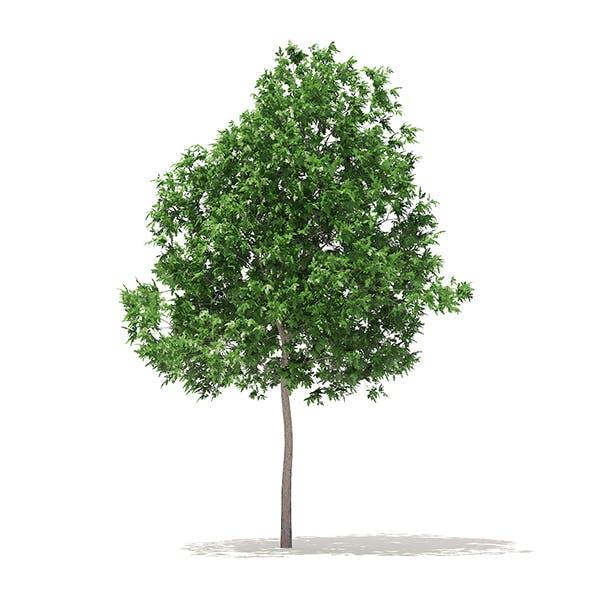 White Oak 3D Model 5.7m - 3DOcean Item for Sale
