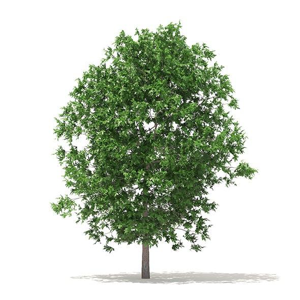 White Oak 3D Model 6.3m