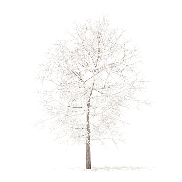 White Oak with Snow 3D Model 6.3m