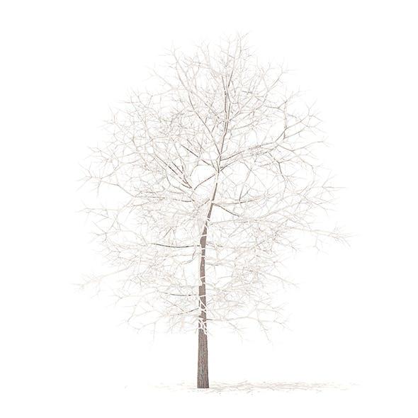 White Oak with Snow 3D Model 6.3m
