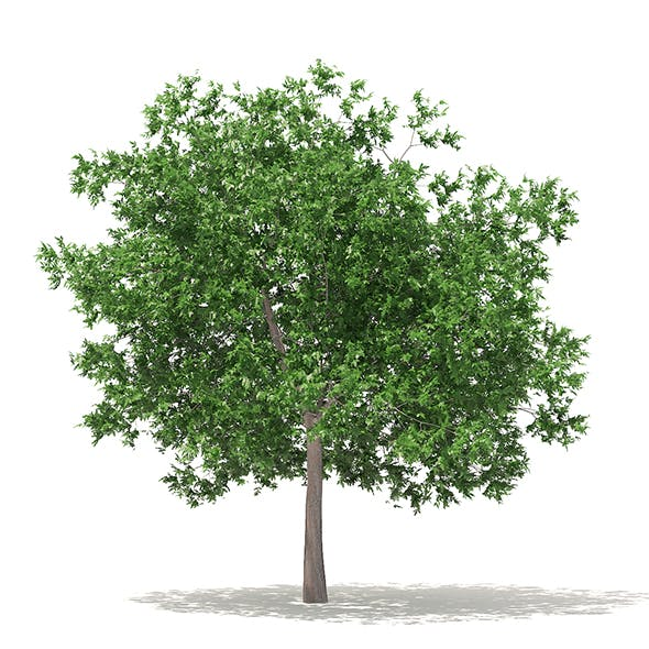 White Oak 3D Model 7.5m - 3DOcean Item for Sale