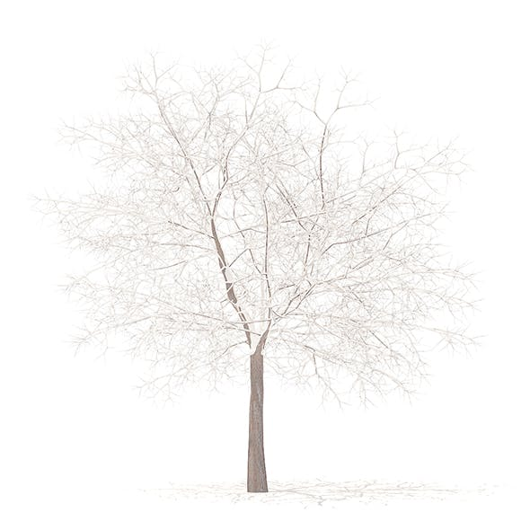 White Oak with Snow 3D Model 7.5m