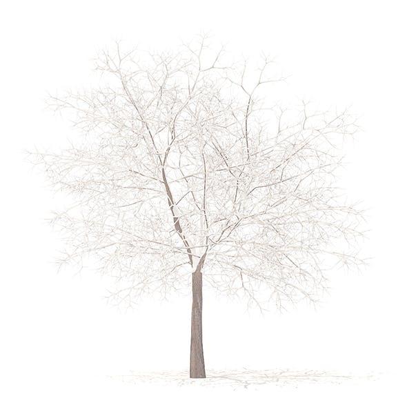 White Oak with Snow 3D Model 7.5m