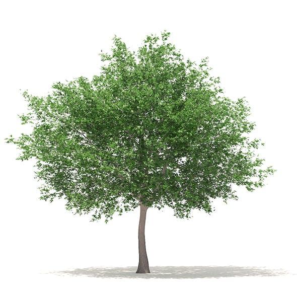 White Oak 3D Model 10.6m