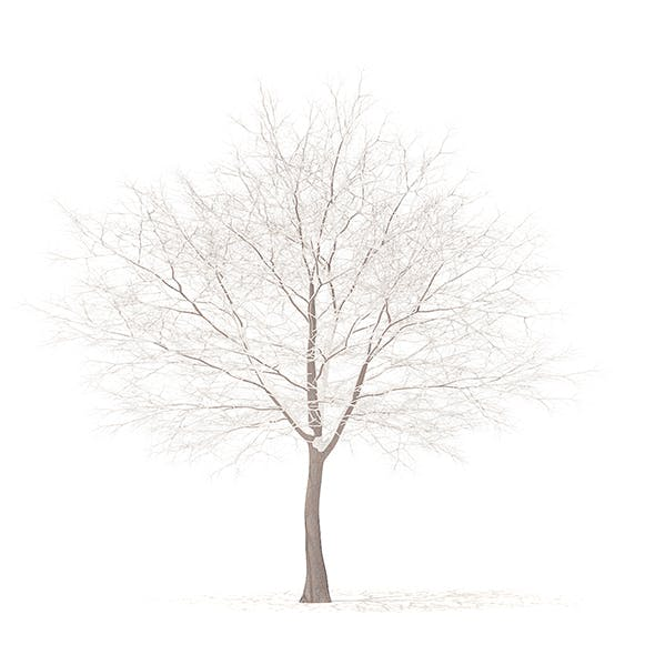 White Oak with Snow 3D Model 10.6m