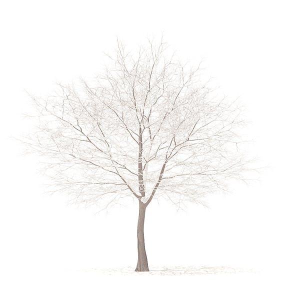 White Oak with Snow 3D Model 10.6m