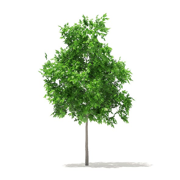 Sugar Maple 3D Model 2.9m