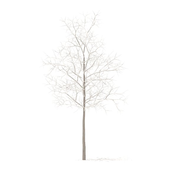 Sugar Maple with Snow 3D Model 2.9m - 3DOcean Item for Sale