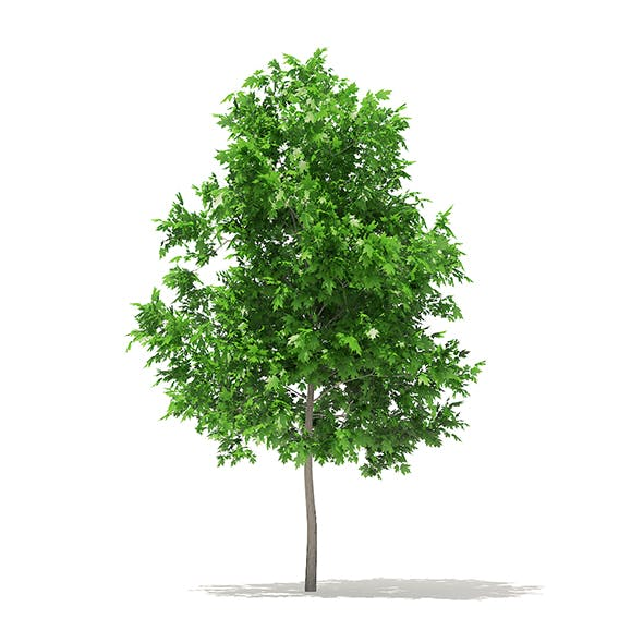 Sugar Maple 3D Model 3.3m