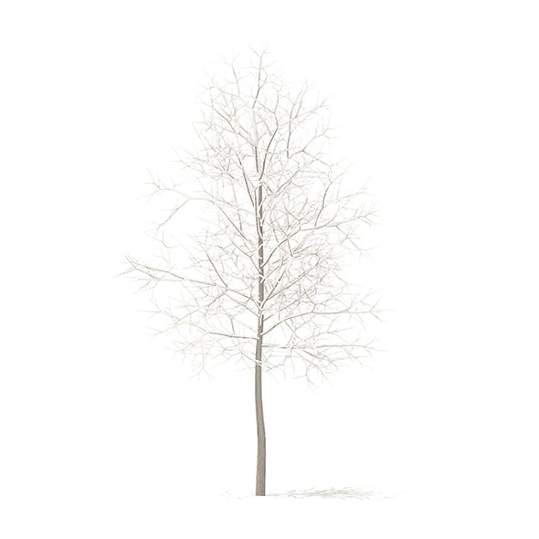 Sugar Maple with Snow 3D Model 3.3m