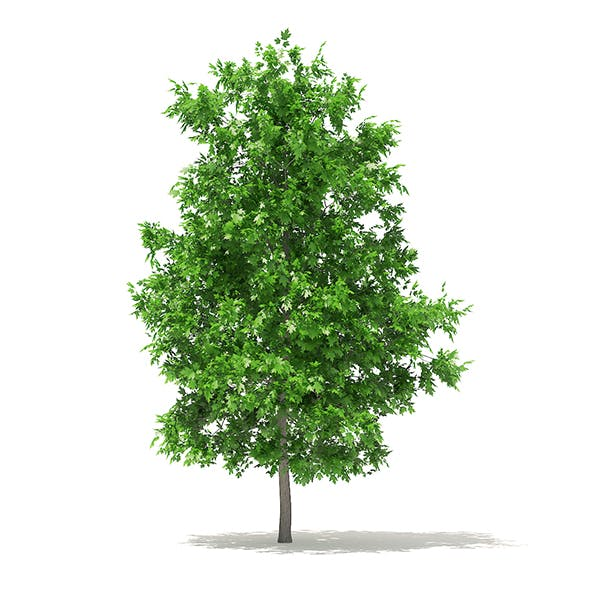 Sugar Maple 3D Model 4.2m