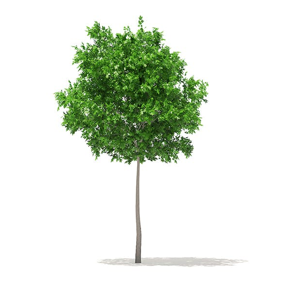 Sugar Maple 3D Model 5.2m