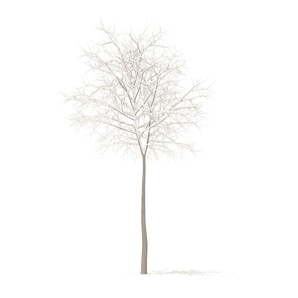 Sugar Maple with Snow 3D Model 5.2m