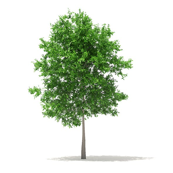 Sugar Maple 3D Model 7.3m