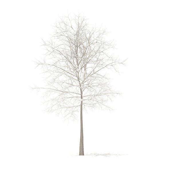 Sugar Maple with Snow 3D Model 7.3m - 3DOcean Item for Sale