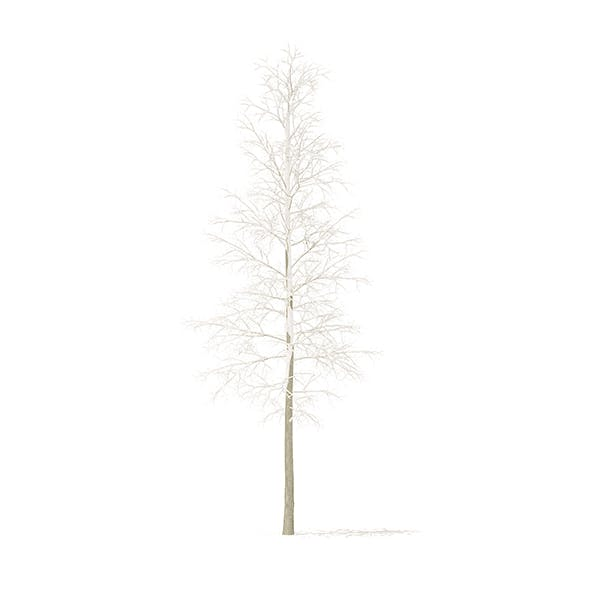 Quaking Aspen with Snow 3D Model 5.6m