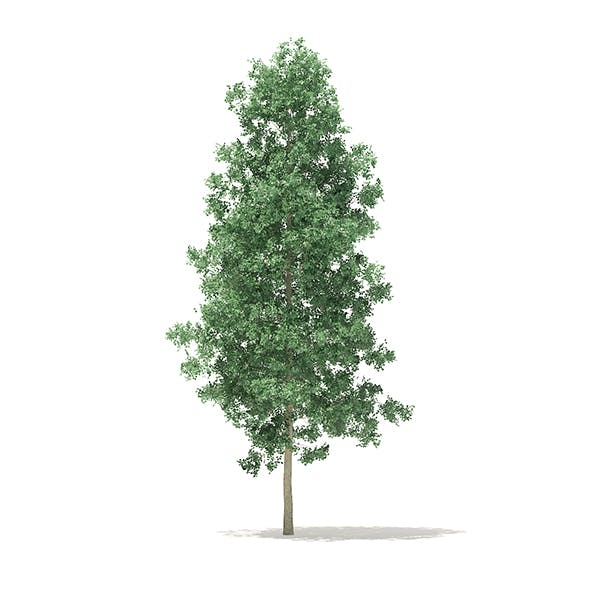 Quaking Aspen 3D Model 7m - 3DOcean Item for Sale