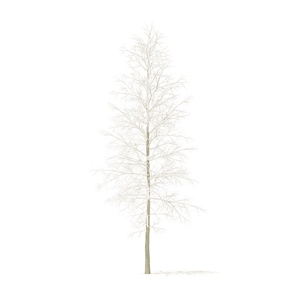 Quaking Aspen with Snow 3D Model 7m