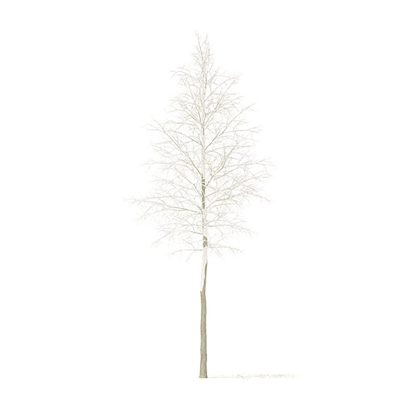 Quaking Aspen with Snow 3D Model 9.7m