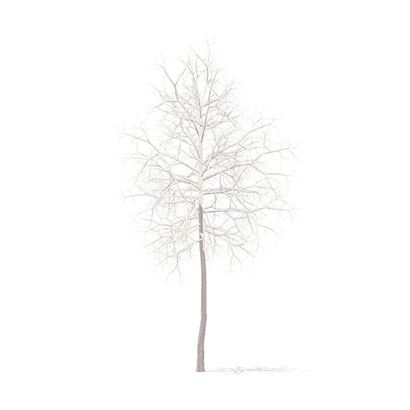 American Sweetgum with Snow 3D Model 2.9m