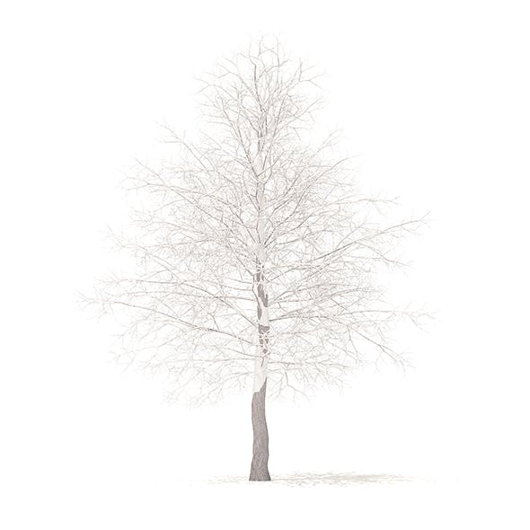 American Sweetgum with Snow 3D Model 6.3m