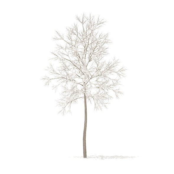 American Elm with Snow 3D Model 2.2m