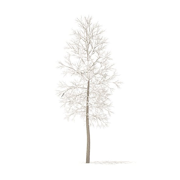 American Elm with Snow 3D Model 3.3m