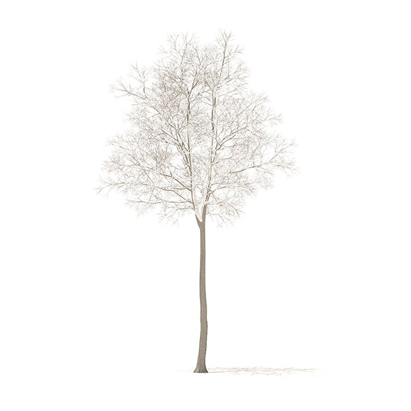 American Elm with Snow 3D Model 7m
