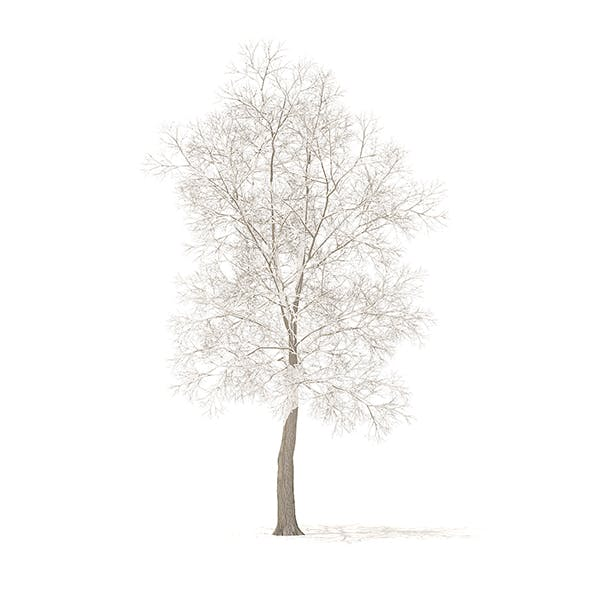 American Elm with Snow 3D Model 8.5m