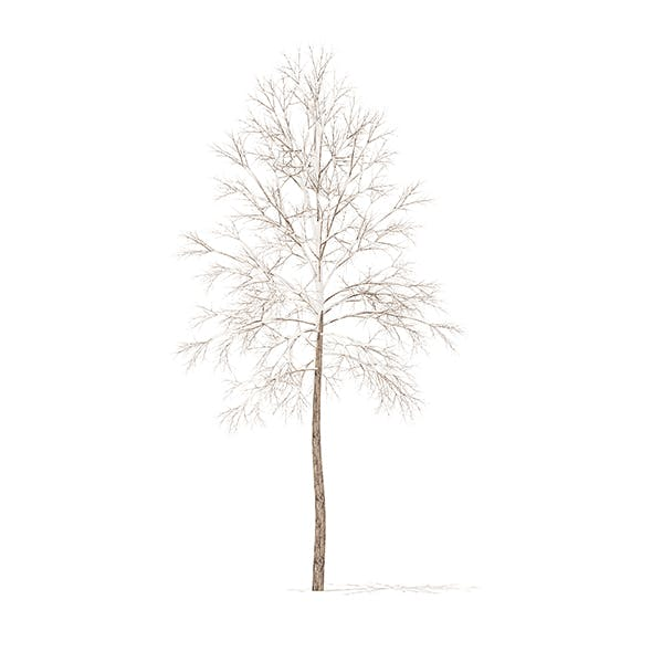 River Birch with Snow 3D Model 3.2m