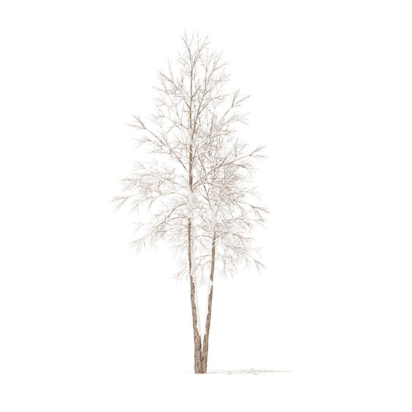 River Birch with Snow 3D Model 4.9m