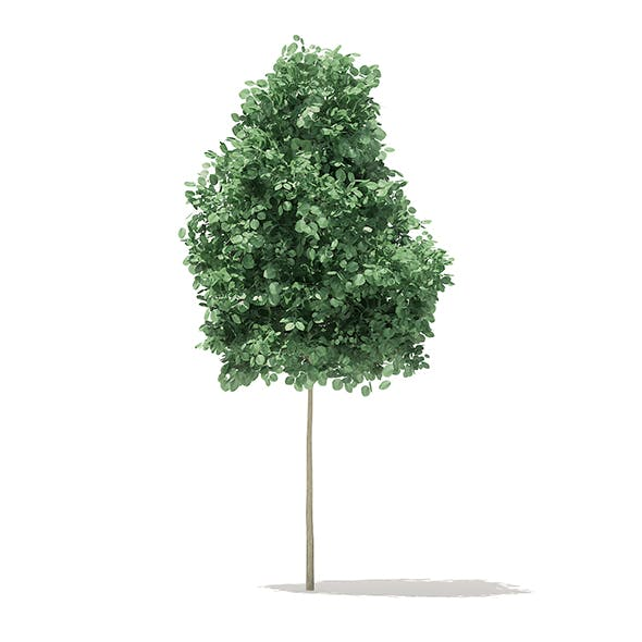 Quaking Aspen 3D Model 2.6m - 3DOcean Item for Sale
