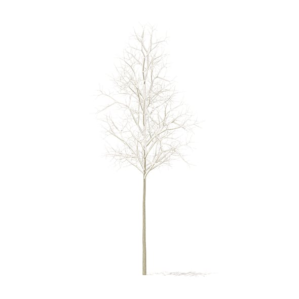 Quaking Aspen with Snow 3D Model 2.6m