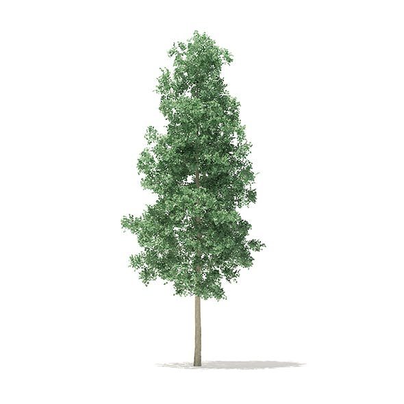 Quaking Aspen 3D Model 5.6m - 3DOcean Item for Sale