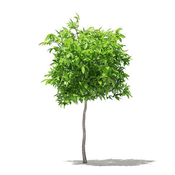 Avocado Tree 3D Model 1.5m - 3DOcean Item for Sale