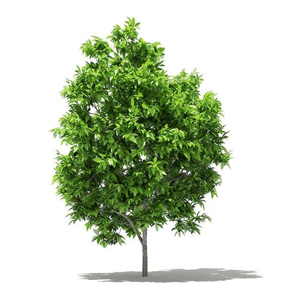 Avocado Tree 3D Model 2.9m