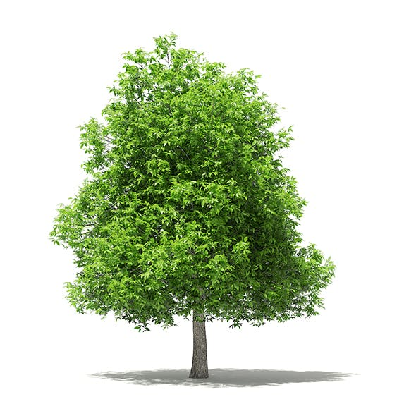 Avocado Tree 3D Model 5.6m