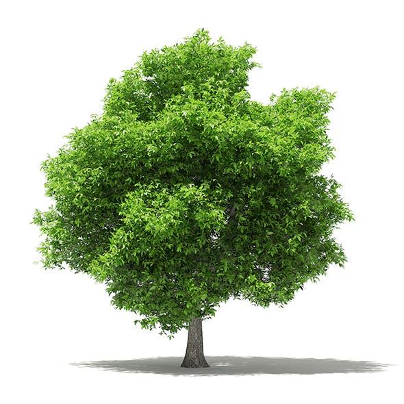 Avocado Tree 3D Model 5.5m